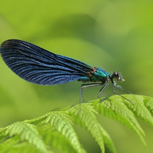 Beautiful Demoiselle ♂ (2015)
