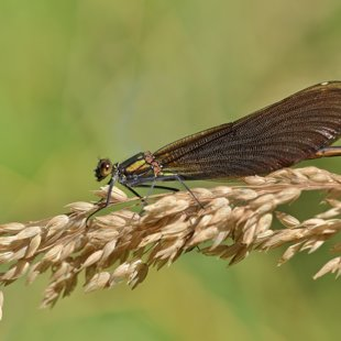 Beautiful Demoiselle ♀ (2015)