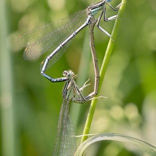 White-legged Damselfly ♂ + ♀ (2015)
