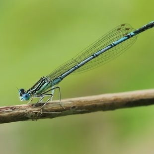 White-legged Damselfly ♂ (2013)