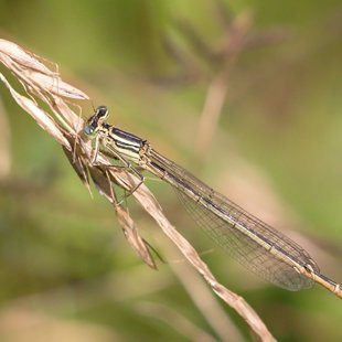 White-legged Damselfly ♀ (2016)