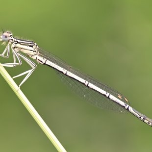 White-legged Damselfly ♂ (2016)