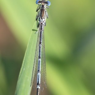 White-legged Damselfly ♂ (2015)