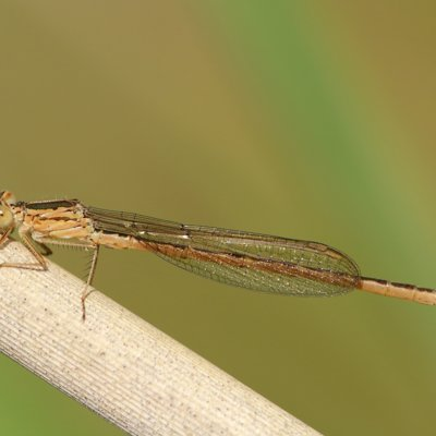 Siberia Winter Damselfly ♂ (2014)
