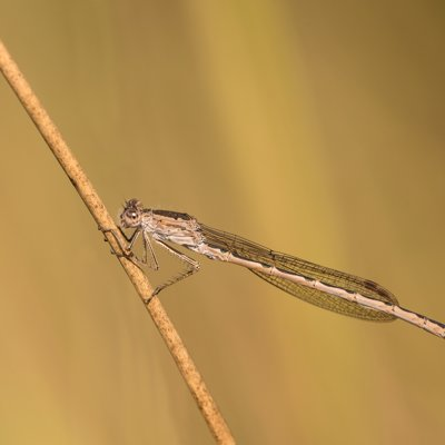 Siberia Winter Damselfly ♂ (2015)