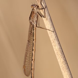 Siberia Winter Damselfly ♀ (2015)