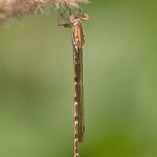 Siberia Winter Damselfly ♂ (2013)