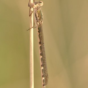 Siberia Winter Damselfly ♀ (2013)