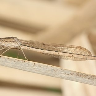 Siberia Winter Damselfly ♀ (2014)
