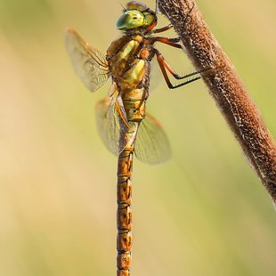 Norfolk Hawker ♂ (2014)