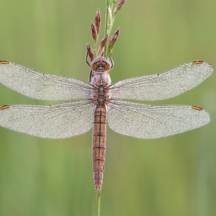 Southern Skimmer ♀ (2017)