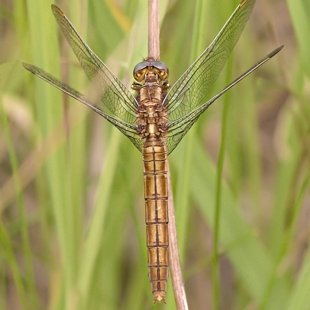 Southern Skimmer ♀ (2015)