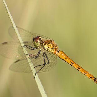 Potted Darter ♀ (2017)