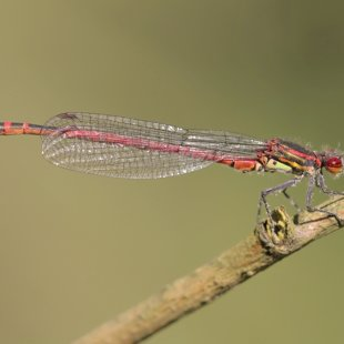 Large Red Damselfly ♂ (2012)