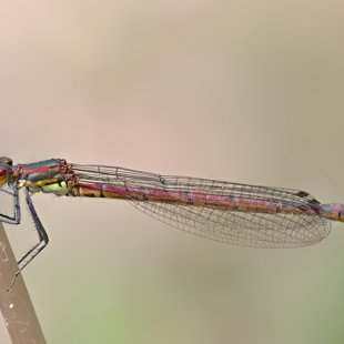 Large Red Damselfly ♀ (2015)