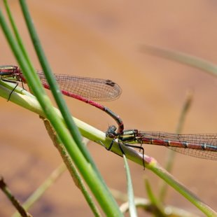Large Red Damselfly ♂ + ♀ (2014)
