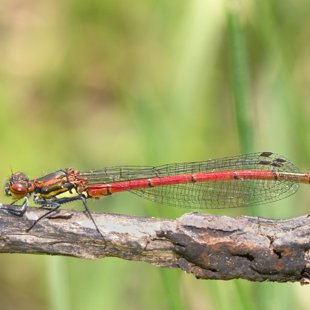 Large Red Damselfly  (2015)