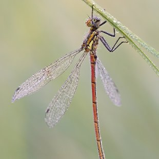 Large Red Damselfly ♂ (2017)