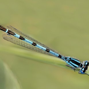 Common Blue Damselfly ♂ (2012)