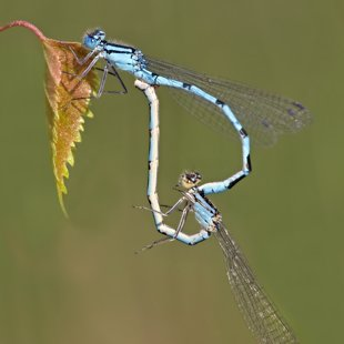 Common Blue Damselfly ♂ + ♀ (2015)