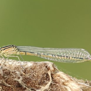 Common Blue Damselfly ♀ (2014)
