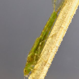 Common Blue Damselfly - larva (2017)