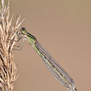 Common Blue Damselfly ♀ (2015)