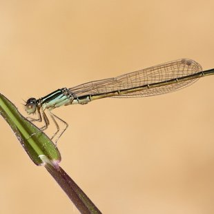 Scarce Blue-tailed Damselfly ♂ (2015)