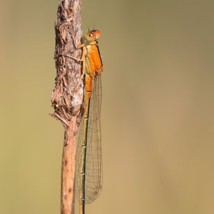 Scarce Blue-tailed Damselfly ♀ (2013)