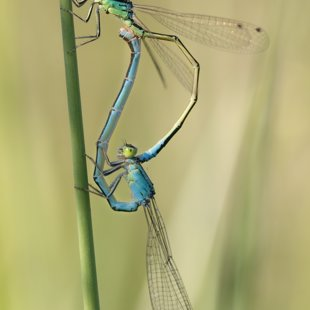 Scarce Blue-tailed Damselfly ♂ + ♀ (2014)