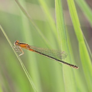 Scarce Blue-tailed Damselfly ♀ (2015)