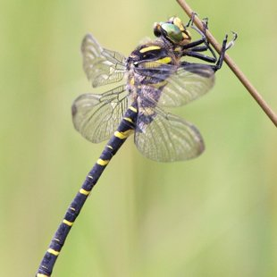 Golden-ringed Dragonfly ♂ (2014)