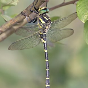 Golden-ringed Dragonfly ♂ (2013)