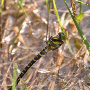 Golden-ringed Dragonfly ♀ (2015)