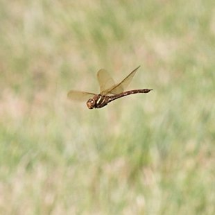 Brown Hawker ♀ (2015)
