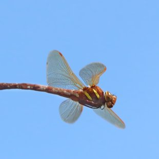 Brown Hawker ♀ (2013)
