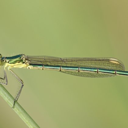 Small Emerald Damselfly ♀ (2013)