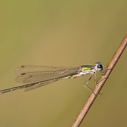 Small Emerald Damselfly ♂(2017)