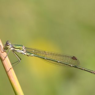 Small Emerald Damselfly ♂ (2016)