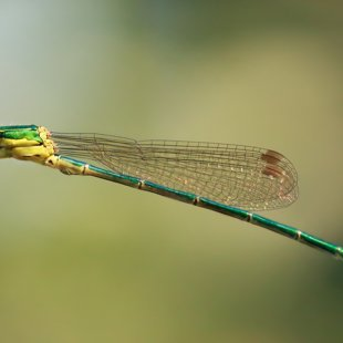 Small Emerald Damselfly ♂ (2013)