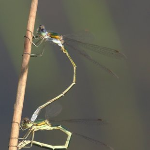 Small Emerald Damselfly ♂ + ♀ (2013)