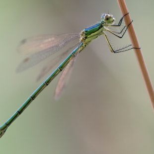 Small Emerald Damselfly ♀ (2016)