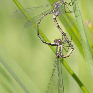 Willow Emarald Damselfly ♂ + ♀ (2014)