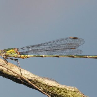 Willow Emarald Damselfly ♂  (2013)