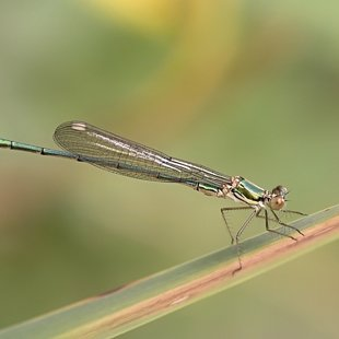 Willow Emarald Damselfly ♂  (2015)