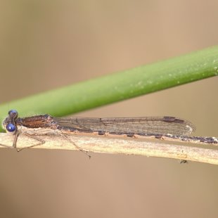 Common Winter Damselfly ♂ (2015)