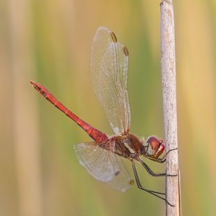 Red-veined Darter ♂ (2017)