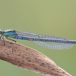 Small Red-eyed Damselfly ♀ (2016)