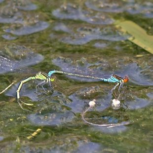 Small Red-eyed Damselfly ♂ +♀ (2016)