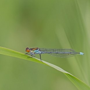 Small Red-eyed Damselfly ♂ (2015)